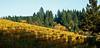 oregon vineyards 1 DSC_0093