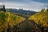 autumn vineyard-2500