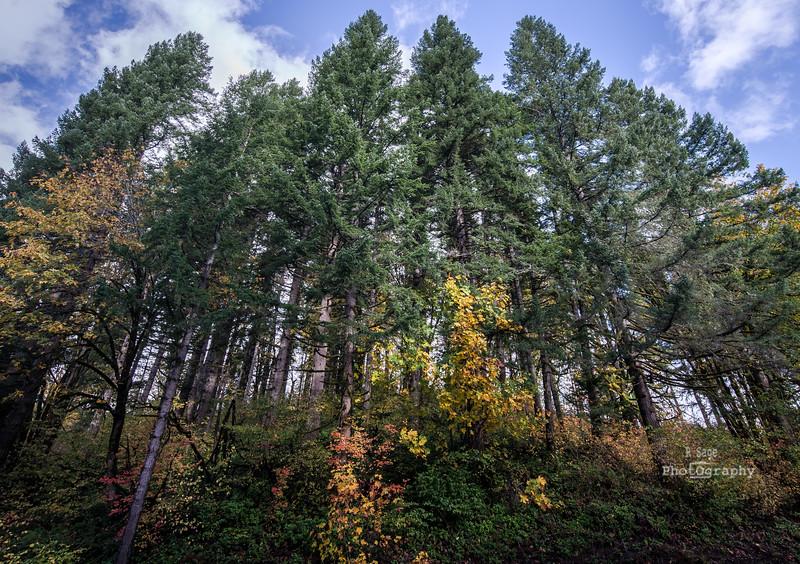 tall trees-5481