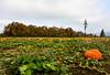 pumpkin field DSC_6605