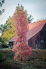 red tree, red barn-2475