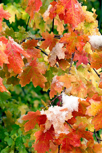East Canyon, Wasatch Mountains, Utah.  A very early snowstorm blankets the fall leaves.