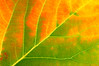 AspenLeaf(fall)-06-05