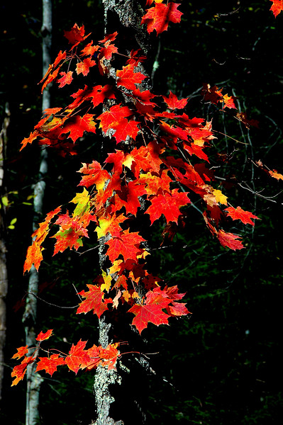 AutumnMapleLeaves-06-01