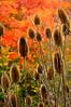 AutumnTeasel-06-02