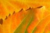 AspenLeaf(fall)-06-06
