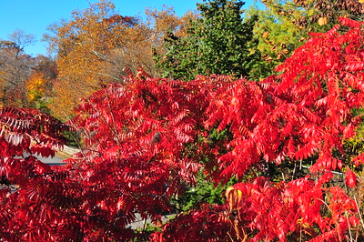 firey red of autumn