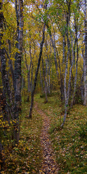 Path in birchwood<br /> Beiarn