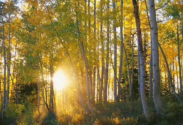 Autumn in Colorado -- Aspens