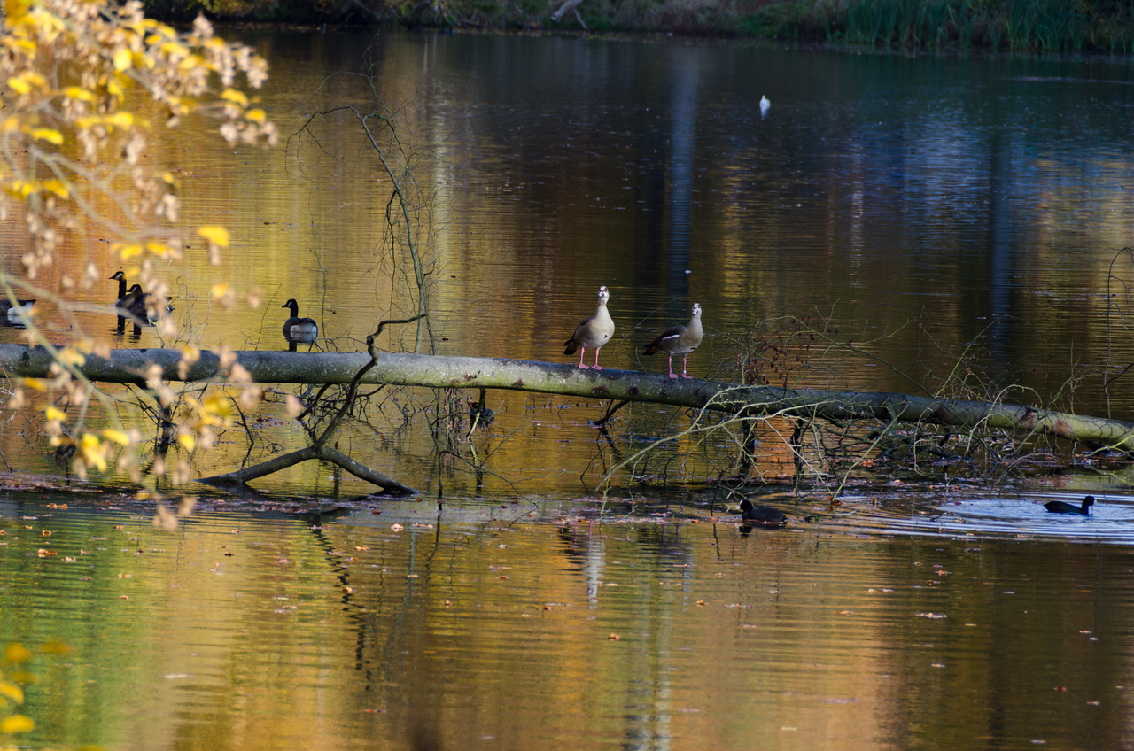 Egyptian Geese on a branch