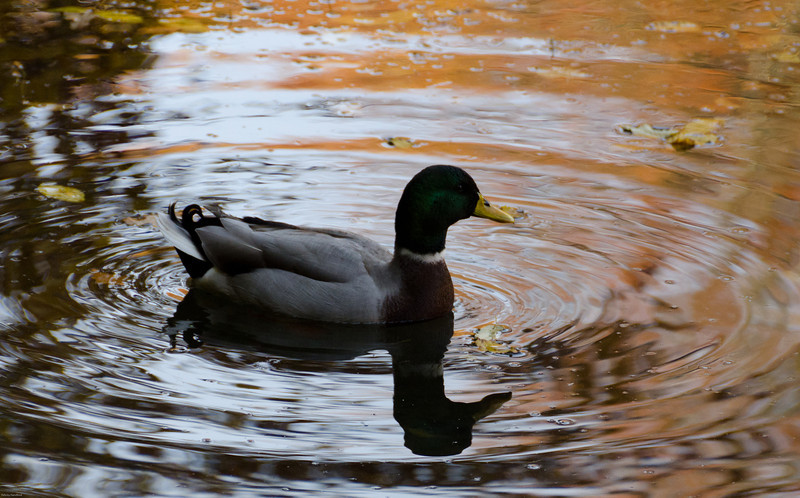 A Mallard duck