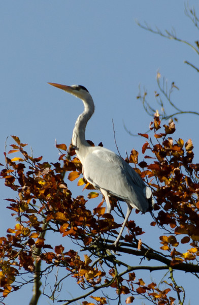 Grey Heron on the top of a beech tree