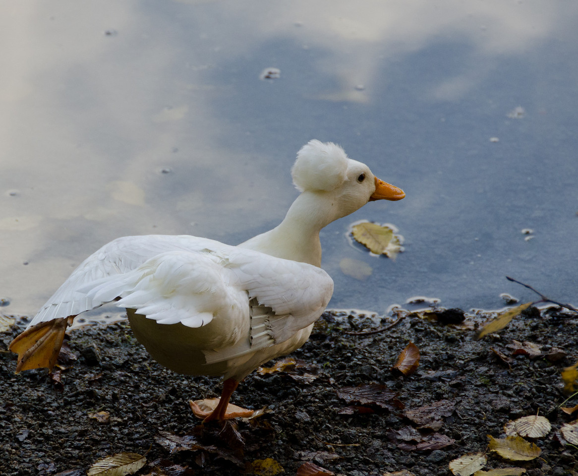 A white crested duck