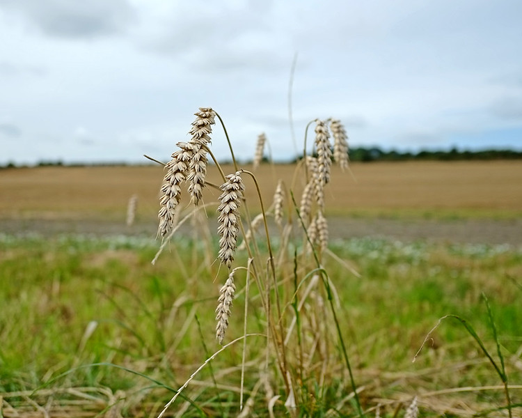 Early Autumn walk along the fields and hedgerows of Heworth