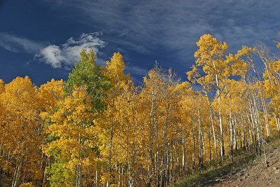Aspens, blue sky, and clouds. Taken from roadside on Grand Mesa Scenic Byway.