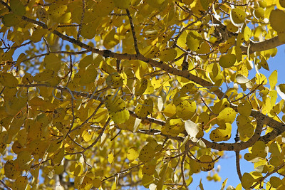 "I love aspens. They were ""quaking"" today, nice breeze, kinda tough to shoot closeups."