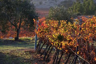 Vines & Olive Tree