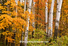 Autumn Woods with Birch Trees and Maple Leaves, Sauk County, Wisconsin