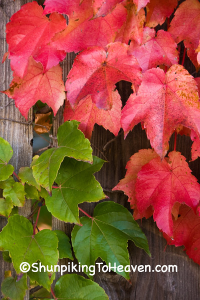 Vine-Covered Fence with Green and Orange Leaves, Madison, Wisconsin