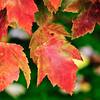 AutumnMaple2