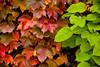 Autumn Vines, Rock County, Wisconsin