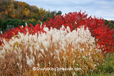 Red Sumac and Ornamental Grass, Richland County, Wisconsin