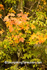Close-up of Autumn Maple, Richland County, Wisconsin