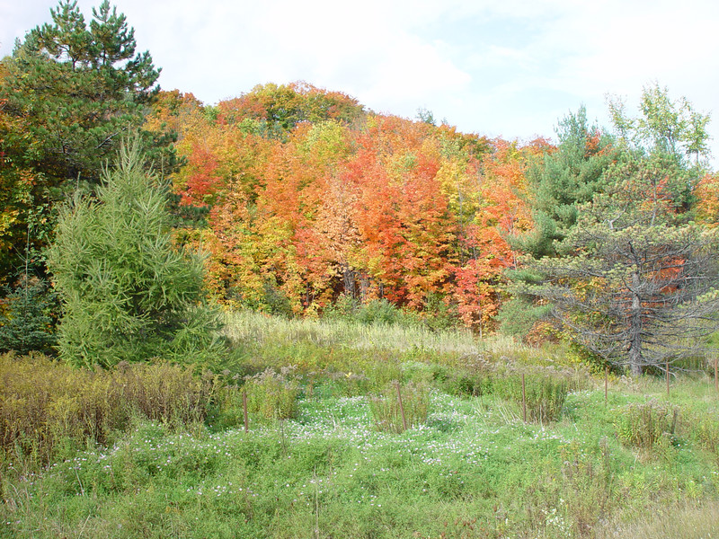 Early autumn,leaves of maple trees turning in the beautiful yellow and red colours. Autoroute 15,Prevost,Quebec.
