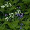 Bluebells and wild garlic at Aysgarth Falls