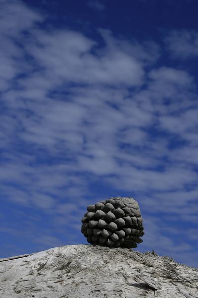California pine cone.