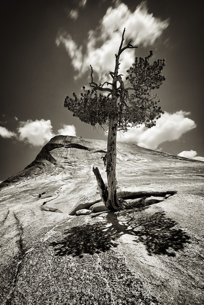 Lost tree on Yosemite rocky mountain (color version available)