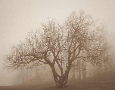 Tree in Afternoon Fog ~Harvey's Knob Overlook, Blue Ridge Parway ~ November 2001