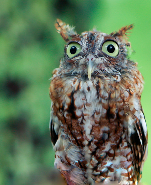 Eastern Screech Owl<br /> Framed, on sale, Mojo's Coffee House, Damascus, Virginia