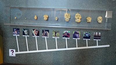 Skull Evolution of Man
