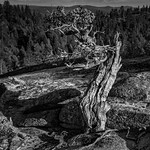 knarly old tree with rocky background-black and white