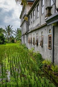 Rice Fields Ubud