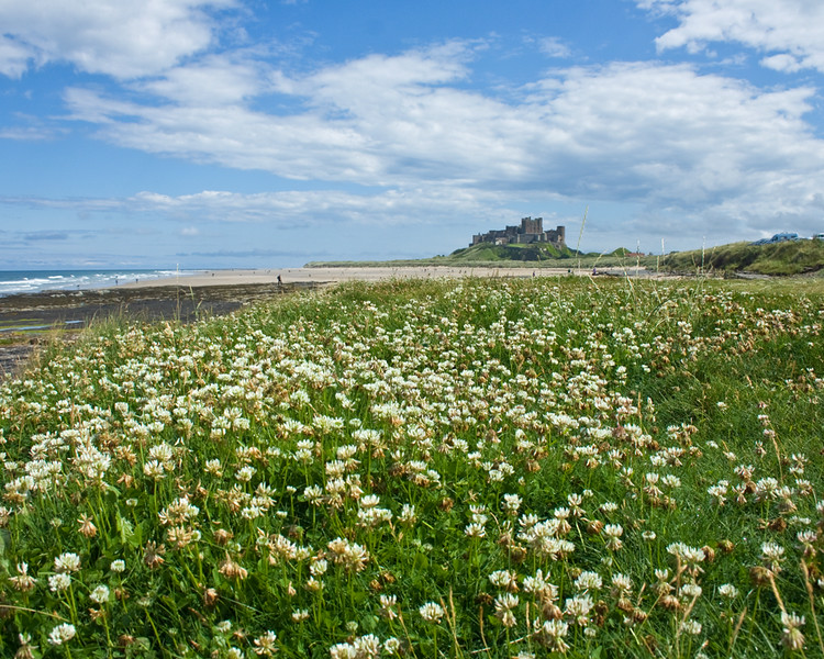 Bamburgh Castlethrough the clover near the beach