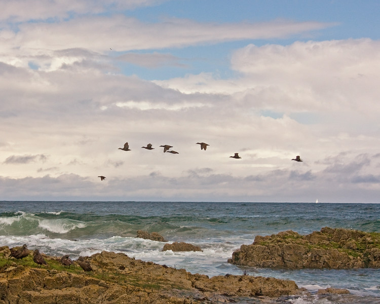 incoming ducks