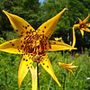 Canada Lily: Wild Gardens of Acadia National Park, Bar Harbor Maine 2008