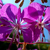 Fireweed Against the Sun: Wild Gardens of Acadia National Park, Bar Harbor Maine 2008