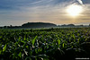 """While shooting the photos for the """"Red Barn, Green Field"""" photos I thought this corn field would make a nice shot. This photo was actually shot using my Samsung Galaxy S5 (in HDR mode) and ever-so-slightly touched up in Lightroom. I actually like this better than the shots I took with my DSLR."""