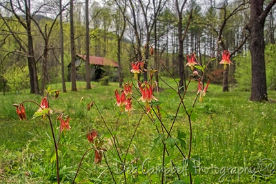 Columbine in the Country