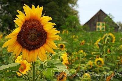 Quilt Barn #3 and Sunflower field Seven Islands State Birding Park Kodak, Tennessee