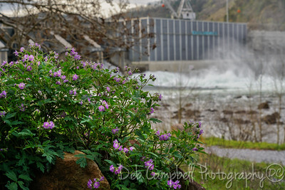 Wild Geranium at Chilhowee  Dam
