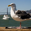 A photogenic seagull at Fort Mason.