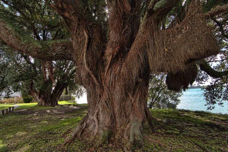 Tree in Tauranga
