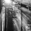 143  G Sun Rays Through Trees BW V