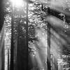143  G Sun Rays Through Trees BW V