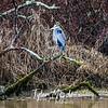4  G Blue Heron