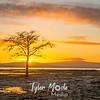 61  G Oysterville Sunrise Tree